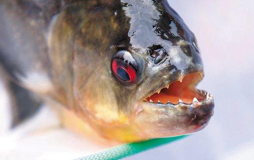 高清图—柳州男子被食人鱼突袭 手掌被咬得血肉模糊