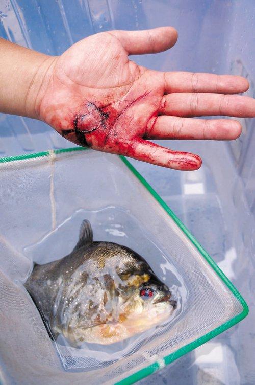 广西柳州食人鱼