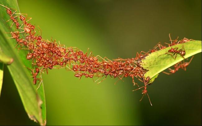 高清图—团结的力量 蚂蚁用身体搭桥梁让同伴过