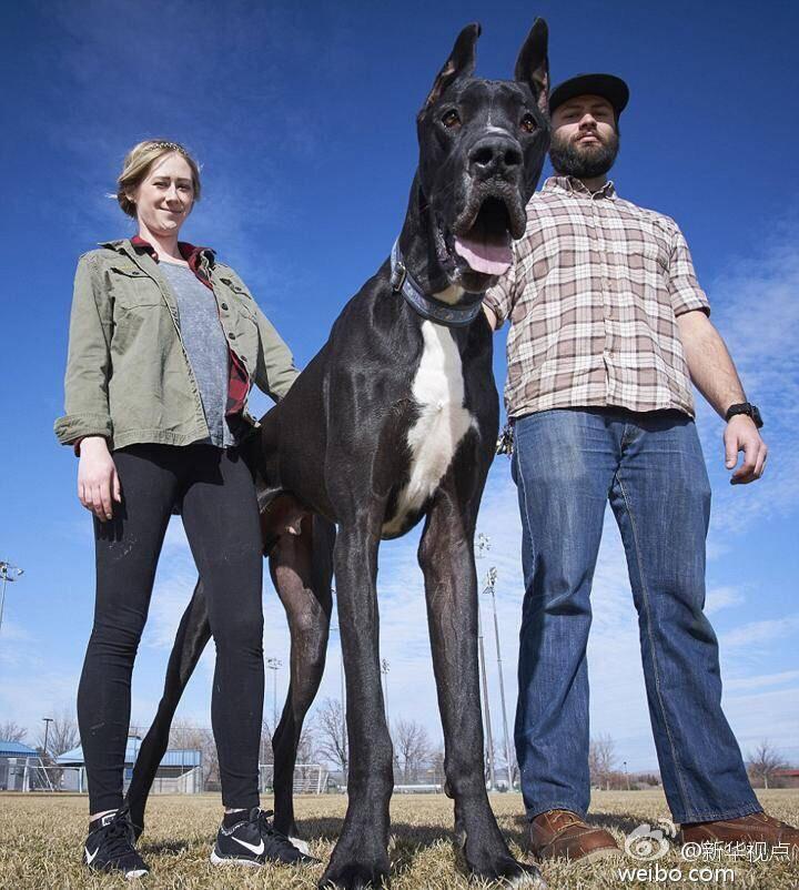 美国大丹狗罗科高2.1米吉尼斯世界纪录世界最高狗