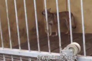 动物园东北虎笼子关着狗